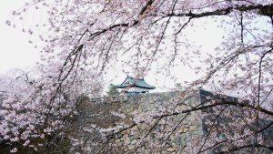Cherry blossoms and Hirosaki Tower